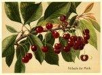 illustrazioni botaniche di frutta, da usare come etichette per conserve