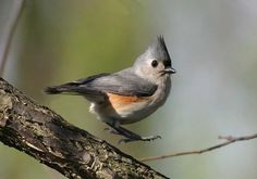 Image result for tufted titmouse tattoos