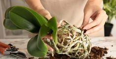 Jak přesazovat orchideje, aby pěkně kvetly?