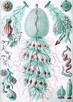 Natures microcosmic beauty...illustration by Ernst Haeckle