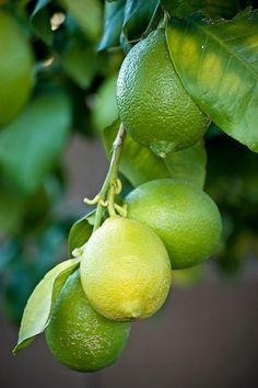 Lime tree by Save Our Citrus, via Flickr