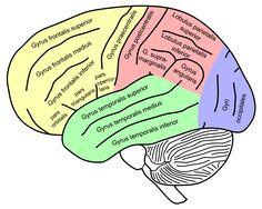Koncový mozek – Wikipedie