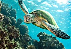 Swim with turtles in Barbados! Caribbean Cruise Excursions -- Barbados Beach Day and Turtle Swim Tour http://www.shoreexcursionsgroup.com/v/affiliate/?id=96019=/-p/cabrgtbchtrt.htm