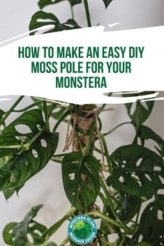 Monstera plants love to grow and do well when they have a place to climb. Learn how to make an easy DIY Moss Pole for your Monstera plant. planting How to Make an Easy DIY Moss Pole for your Monstera Indoor Trees, Indoor Plants, Indoor Climbing Plants, Air Plants, Moss Plant, Plant Leaves, Plant Pots, Center Blog, Indoor Gardening Supplies