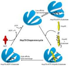 Model of Hsp70:J-protein chaperone cycle