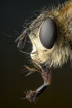 Fly by Markus Reugels Insect Eyes, Insect Art, Beautiful Bugs, Animals Beautiful, Beautiful Creatures, Macro Pictures, Nature Pictures, Microscopic Photography, Insect Photography