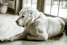 Central Asian shepherd Alabai Dog, Animals And Pets, Cute Animals, Anatolian Shepherd, Cane Corso, Shepherd Dog, Pitbull, Beautiful Creatures, Puppy Love