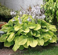 Hosta August Moon is one of the oldest hosta cultivars, yet still  highly rated for its bright gold color and good substance.  August  Moon forms a dense medium large mound with light lavender  blooms.  Tolerates morning sun well.