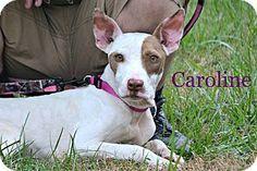 Albemarle, NC - Terrier (Unknown Type, Medium) Mix. Meet Caroline, a dog for adoption. http://www.adoptapet.com/pet/14127217-albemarle-north-carolina-terrier-unknown-type-medium-mix