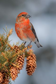 The Common Crossbill is a small, pine-tree loving bird that lives throughout North America, Europe and Asia in spruce forests. In North America, it is known as the Red Crossbill.