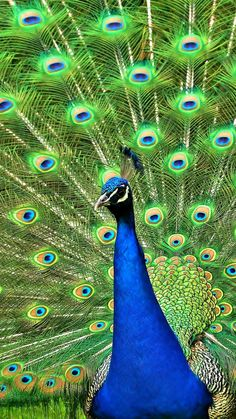 1080x1920 Wallpaper peacock, bird, tail