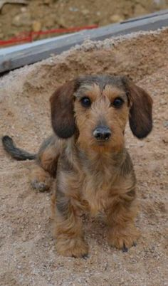 ❤ sweet wire-haired dachshund