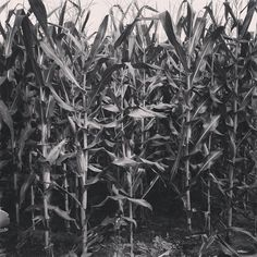 It is almost that time the gathering of your souls come get lost in our corn maze the pumpkin factory  Location: 48651 Harris road Belleville Michigan 48111  Telephone number :  1 (734) 461-1835  #hauntedhouse  #hauntedhayride #cornmaze