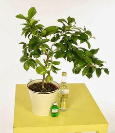 This is one of the most popular gin gifts we've found - the gin and lemon tree so you can make your own G&T!  All this and more in: Gin Geeks: Gifts for Gin Lovers | Vinspire