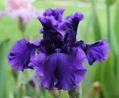 Each day a few more TALL BEARDED IRIS bloom. On the average, I have 3 blooms a day. All of the iris were either divided or were new last . My Flower, Flower Ideas, Purple Garden, Bearded Iris, Types Of Flowers, Sweet Memories, Clematis, Live Plants, Horticulture