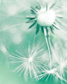 Dandelion photograph, mint white decorative photo, close up, flower, petals, macro photography for beautiful home decor