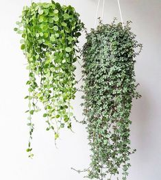 Plants House plants indoor Hanging plants indoor Hanging plants House plants Indoor garden Dischidia nummularia and Pilea glauca someday my pilea will be that pretty som.
