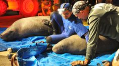 Manatees rescued from a drainage pipe | CTV News