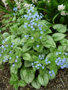 "Brunnera ""Jack Frost"" (False forget-me-not)  ... [planted near cherry tree]"