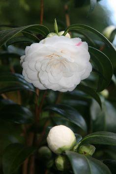 Camellia japonica 'Dionisia Poniatowski' (Italy, 1860)