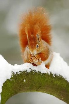 Photographic Print: Cute Red Squirrel Eats a Nut in Winter Scene with Snow. Wildlife Scene from Czech Nature. Orange Fu by Ondrej Prosicky : 24x16in