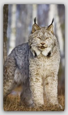 Magnificent Canadian Lynx