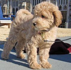 Our next dog will be a labradoodle!!! When we adventured to Texas we fell in love with one!!