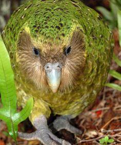 Kakapo is the large,flightless parrot Native to New Zealand Flightless Parrot, Kakapo Parrot, Little Birds, Love Birds, Beautiful Birds, Exotic Birds, Colorful Birds, Mon Zoo, Animals And Pets