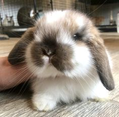 Popular Supplies for Pet Rabbits Cute Baby Bunnies, Baby Animals Super Cute, Cute Little Animals, Cute Funny Animals, Mini Lop Bunnies, Holland Lop Bunnies, Dwarf Bunnies, Cute Bunny Pictures, Baby Animals Pictures