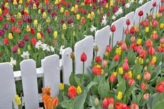 Stock Photography: Tulip Beds and White Fence