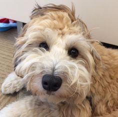 Pudelier (Pudel + Wheaten Terrier) | 19 ungewöhnliche Hunde-Kreuzungen, die Dein Herz im Sturm erobern werden