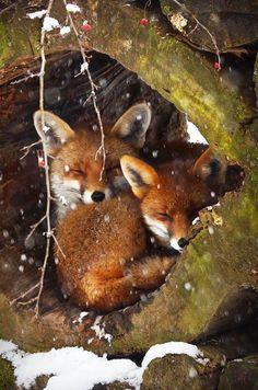 Knusse vosjes in de sneeuw