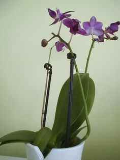 Mini phalaenopsis little lady ro liny w domu pinterest - How to care for potted orchids ...