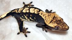 Black Crested Gecko | 09-15, Male. RTB. A peachy/orange male with some dalmation spots. $50.