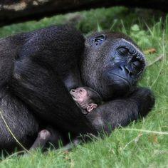 Nap Time ~ Gorilla by Arjan Vennema) Primates, Nature Animals, Animals And Pets, Strange Animals, Beautiful Creatures, Animals Beautiful, Cute Baby Animals, Funny Animals, Mundo Animal