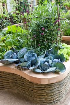 M&G Investments Garden designed by Bunny Guiness. Raised wicker bed with Cabbage Kalibos and Knautia macedonica, Chelsea Flower Show 2011.