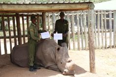In Kenya, four armed rangers are working around the clock to guard Sudan, a 42-year-old rhino who's believed to be the last male northern white rhino on earth.
