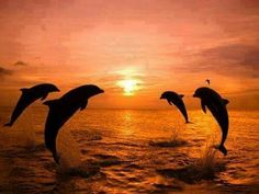 Four dolphin sunset