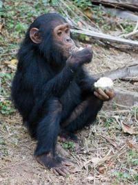 Los chimpancés (Pan troglodytes) comparten con el ser humano más del 90% de sus genes, y los científicos cada vez encuentran más similitudes entre nuestra especie y este entrañable primate. Ahora, un grupo de investigadores del Centro de Investigación de Primates de Yerkes (EEUU) ha descubierto que los chimpancés tienen un sentido de la justicia parecido al nuestro.