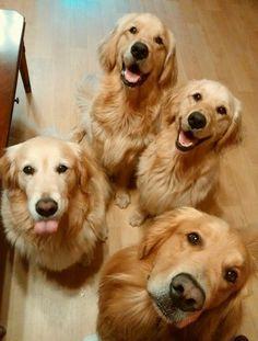 Four Golden Retrievers are always better than one. #GoldenRetriever