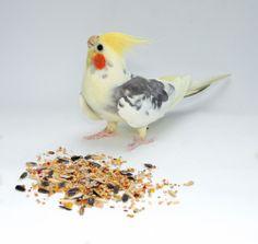 Coprofagia em aves: o que fazer com calopsitas que comem as próprias fezes?