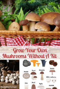 Would you like to know how to grow edible mushrooms at home? You can grow them indoors, on logs, outdoors in your greenhouse, etc. For profit or simply for your family, home grown mushrooms are definitely the way to go! #mushrooms #gardening101