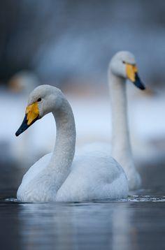 Whooper Swan by Geir  Jensen