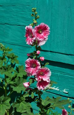 love hollyhocks