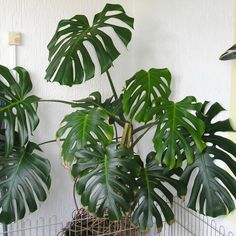 Monstera Deliciosa Indoor-plant