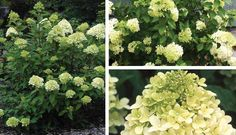 Limelight Hydrangea. One of the finest and most floriferous and hardy hydrangeas - handsome flowers, long blooming and drought tolerant. Requires pruning in early Spring. 4-'5 tall; full sun for best performance.