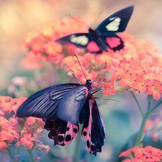 What is better than a butterfly? Two butterflies! ;)  Dreamy colours | pink orange teal  Copyright Lizemijn Libgott  https://instagram.com/lizemijn
