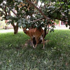 So beautiful, so shy! #deerdiary #deer #baby #ifoundbambi #bambi #ithinkitsagirl #nature #animals #blog blogger #travel #lubango #casperlodge #angola #beauty #shy #love #touristing