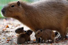 Three baby capybaras are accompanied by their mother as they explore their enclosure on November 3, 2011 at the zoo in Schwerin, northeastern Germany. The animals were born at the zoo on November 1, 2011. Capybaras, relative to guinea pigs, are the largest living rodents in the world and are native to South America.    AFP PHOTO    JENS BUETTNER    GERMANY OUT (Photo credit should read JENS BUTTNER/AFP/Getty Images) via @AOL_Lifestyle Read more…