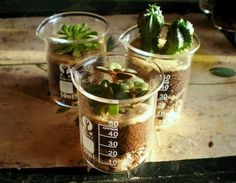 Succulent in glass beakers